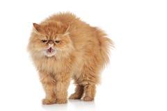 Gato persa asustado del jengibre Fotos de archivo libres de regalías