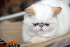Gato persa bastante triste Fotos de archivo libres de regalías
