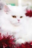 Gato persa blanco Fotografía de archivo libre de regalías