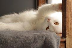 Gato persa blanco Foto de archivo
