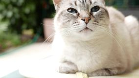 Gato persa blanco con los ojos azules que toma una siesta y que mira para arriba, cerca para arriba en el hocico, la cámara lenta metrajes