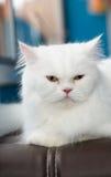 Gato persa blanco fijado en el sofá Imagen de archivo