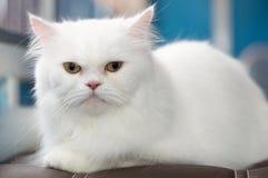 Gato persa blanco fijado en el sofá Imagenes de archivo