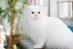 Gato persa blanco fijado en el sofá Imagen de archivo libre de regalías