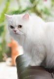 Gato persa blanco fijado en el sofá Foto de archivo