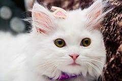 Gato persa branco bonito Foto de Stock Royalty Free