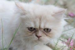 Gato persa branco bonito tão bonito ao sul de Tailândia Imagens de Stock