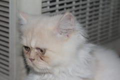 Gato persa branco bonito tão bonito ao sul de Tailândia Imagem de Stock