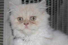 Gato persa branco bonito tão bonito ao sul de Tailândia Imagens de Stock Royalty Free