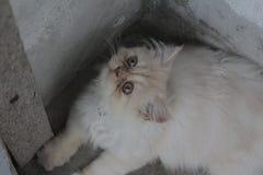Gato persa branco tão bonito e triste ao sul de Tailândia Fotografia de Stock