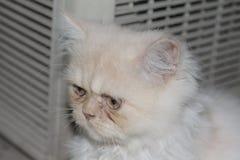 Gato persa branco triste tão bonito ao sul de Tailândia Fotografia de Stock Royalty Free