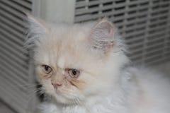 Gato persa branco triste tão bonito ao sul de Tailândia Fotografia de Stock