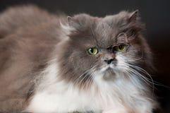 Gato persa cinzento Fotos de Stock