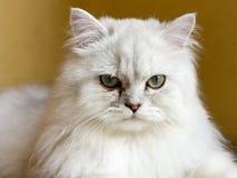 Gato persa da chinchila Fotos de Stock