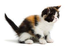 Gato persa da concha de tartaruga imagens de stock