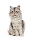 Gato persa de assento Fotos de Stock Royalty Free