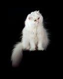 Gato persa de la casa adulta de un color blanco Fotos de archivo libres de regalías