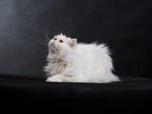 Gato persa de la casa adulta de un color blanco Fotografía de archivo
