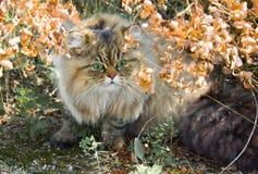 Gato persa de ojos verdes Imagen de archivo libre de regalías