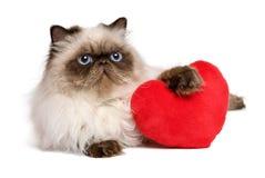 Gato persa del colourpoint de la tarjeta del día de San Valentín del amante con un corazón rojo Imagen de archivo