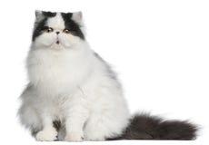 Gato persa del Harlequin, 6 meses, sentándose Imagen de archivo