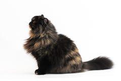 Gato persa del tortie (POR f 62) en el fondo blanco Imagen de archivo