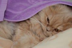 Gato persa el dormir Imagen de archivo