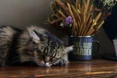 Gato persa el dormir en el estante de madera foto de archivo libre de regalías