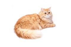 Gato persa en un fondo blanco Foto de archivo