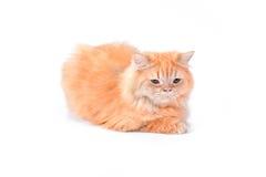Gato persa en un fondo blanco Fotografía de archivo
