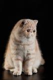 Gato persa exótico com os olhos bonitos grandes no fundo preto Imagens de Stock