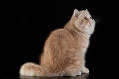 Gato persa exótico com os olhos bonitos grandes no fundo preto Fotos de Stock