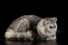 Gato persa exótico com os olhos bonitos grandes no fundo preto Imagens de Stock Royalty Free