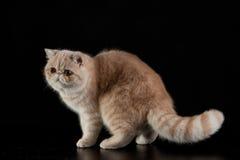 Gato persa exótico no fundo preto Imagens de Stock