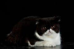 Gato persa exótico no fundo preto Foto de Stock Royalty Free
