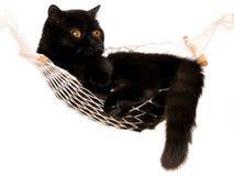 Gato persa exótico preto que encontra-se no mini hammock Imagem de Stock