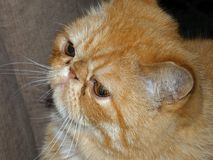 Gato persa exótico saudável foto de stock royalty free