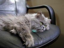 Gato persa gris Imagenes de archivo