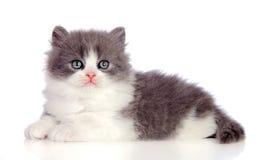 Gato persa gris hermoso que miente en el piso Foto de archivo