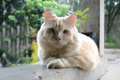 Gato persa lindo Imagen de archivo
