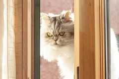Gato persa mullido blanco y negro en el balcón imagen de archivo libre de regalías