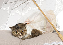 Gato persa, o 1 anos de idade, encontrando-se Foto de Stock Royalty Free