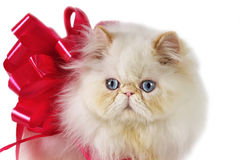 Gato persa para o presente. fotos de stock