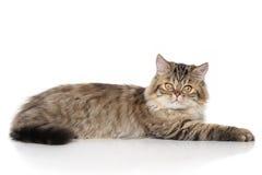 Gato persa perezoso Imagen de archivo