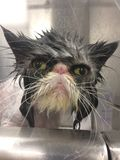 Gato persa que consigue un baño en un gato mojado gris del gato gruñón de los ojos de gato de la tina fotos de archivo