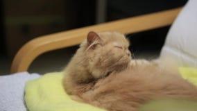 Gato persa que limpia su pelo almacen de video