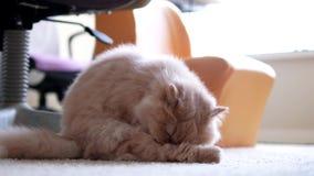 Gato persa que limpia su pierna en piso metrajes