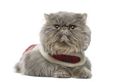 Gato persa que lleva un arnés del tartán, mentira, mirando lejos Foto de archivo