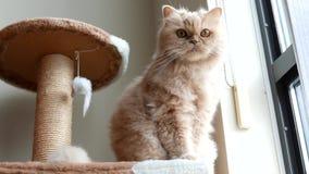 Gato persa que se sienta en árbol del gato y que juega con la gente