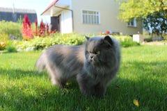 Gato persa que va para un paseo en la hierba verde fotografía de archivo